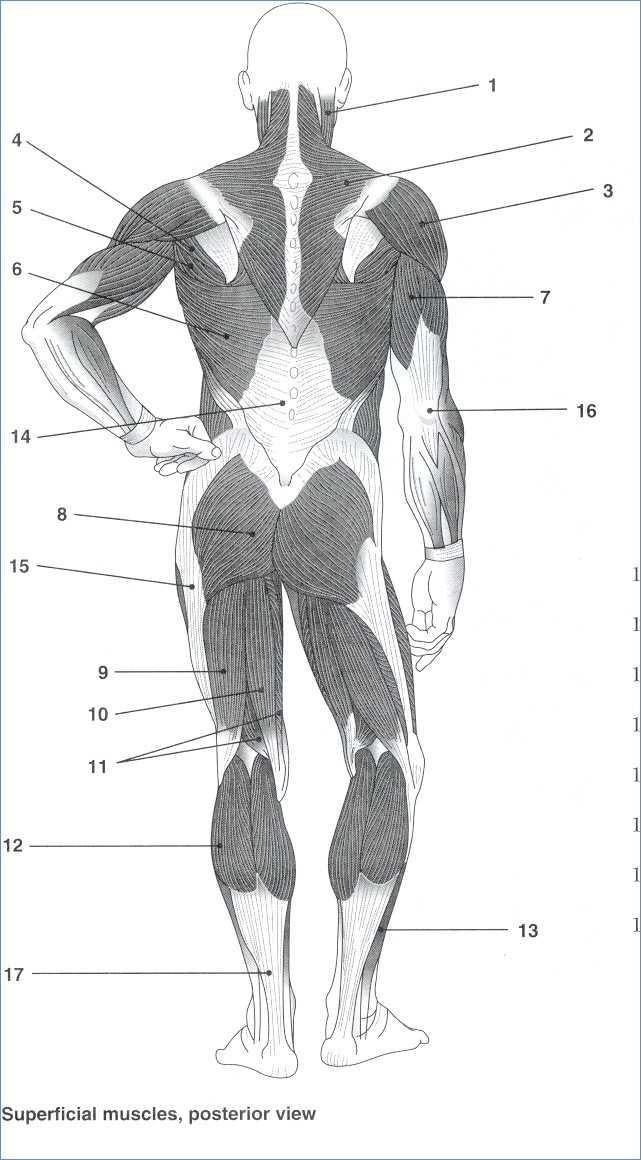 Muscular System Worksheet Answers as Well as Human Anatomy and Physiology Muscular System
