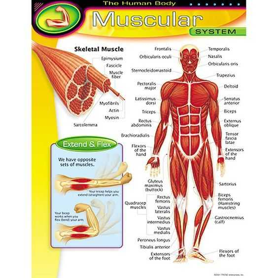 Muscular System Worksheet Answers together with Chart Muscular System