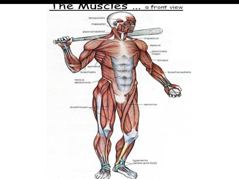 Muscular System Worksheet Answers together with Fein Wo ist Die Lage Rectus Abdominis In Den Körper Ideen