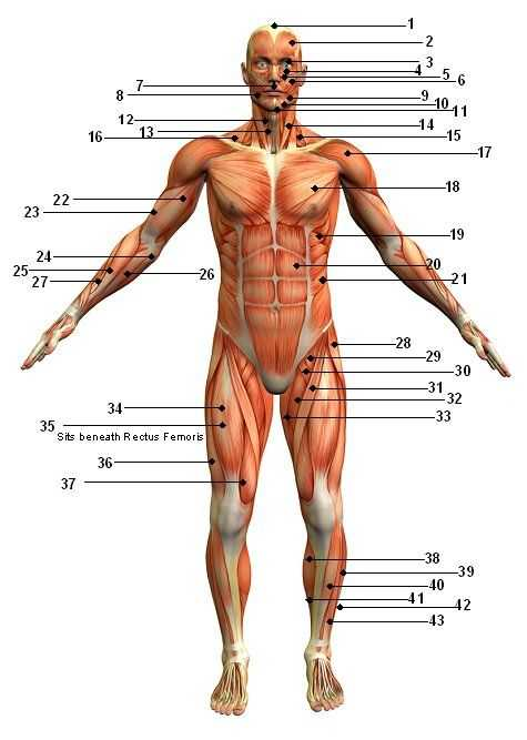 Muscular System Worksheet as Well as Only An Exercise Science Student Would Appreciate This Website