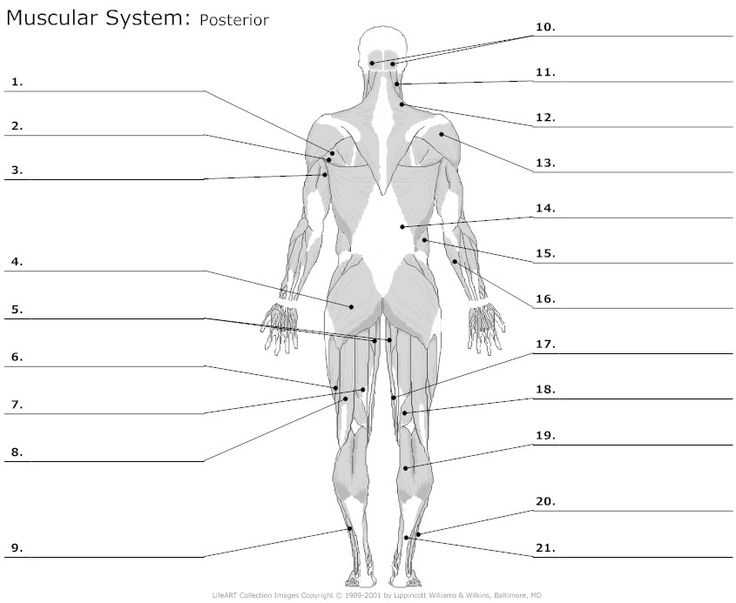Muscular System Worksheet together with 130 Best Anatomy the Muscles Images On Pinterest