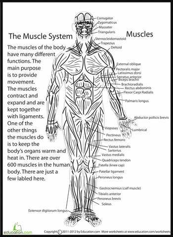 Muscular System Worksheet together with 146 Best Anatomy & Physiology Images On Pinterest