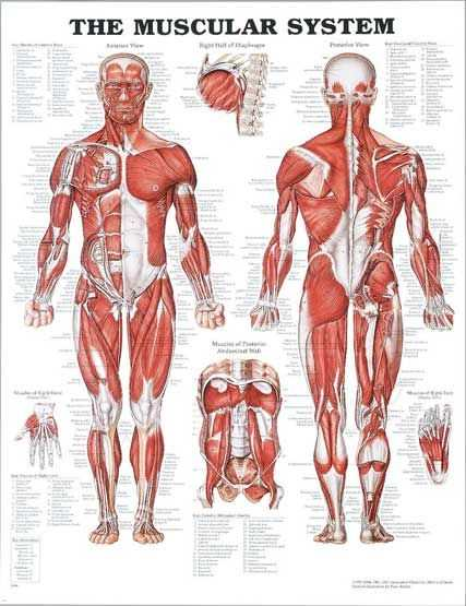 Muscular System Worksheet together with the Muscular System E to Pressure Point Massage therapy In