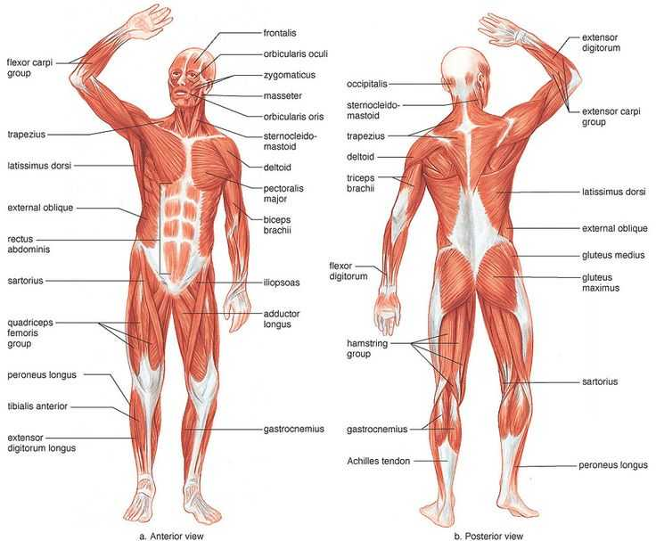 Muscular System Worksheet with 76 Best Anatomy Images On Pinterest