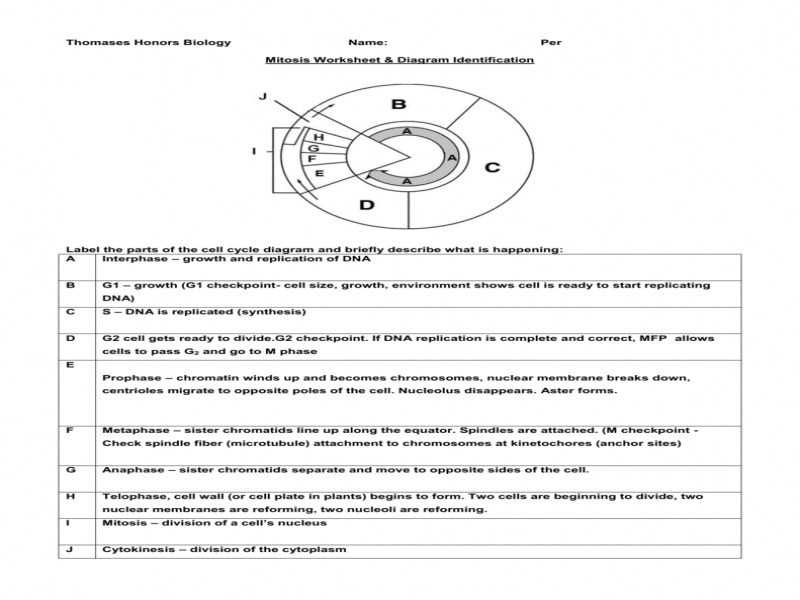 Onion Cell Mitosis Worksheet Key with Cell Cycle Worksheet Answer Key Gallery Worksheet Math for Kids