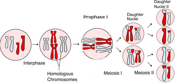 Phases Of Meiosis Worksheet as Well as Cell Division Mitosis and Meiosis