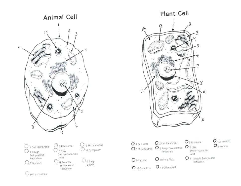 Plant Cell Coloring Worksheet Key together with Plant Cell Drawing at Getdrawings
