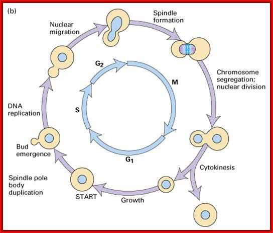 Regulating the Cell Cycle Worksheet as Well as Cell Cycle Diagram Labeled Elegant Cell Cycle Regulation