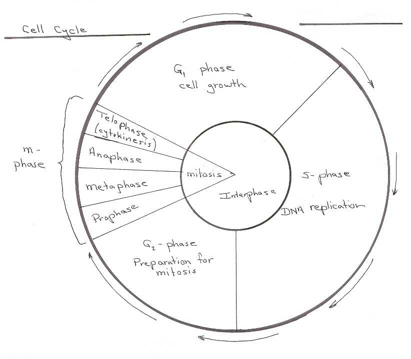 The Cell Cycle Coloring Worksheet Questions Answers or Worksheets 42 Re Mendations the Cell Cycle Worksheet Hd Wallpaper