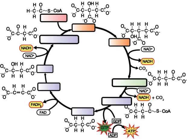 The Krebs Cycle Student Worksheet Along with 25 Best the Krebs Cycle Images On Pinterest