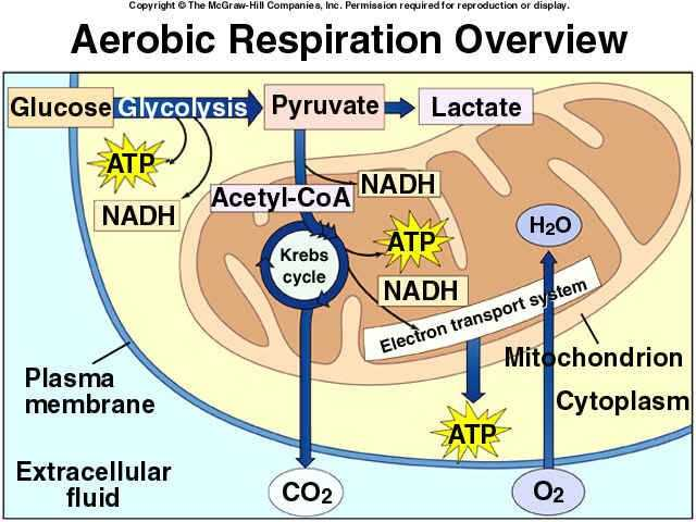 The Krebs Cycle Student Worksheet or 65 Best Cellular Respiration Images On Pinterest