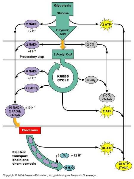 The Krebs Cycle Student Worksheet together with 65 Best Cellular Respiration Images On Pinterest