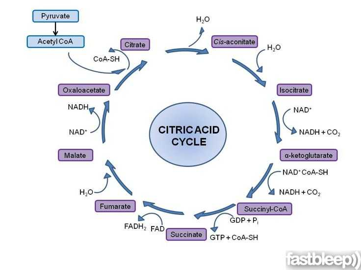 The Krebs Cycle Student Worksheet with 42 Best Citric Acid Cycle Images On Pinterest