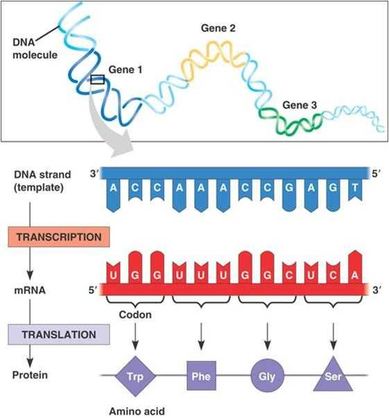 Transcription Translation Worksheet together with 39 Best Genetics Images On Pinterest