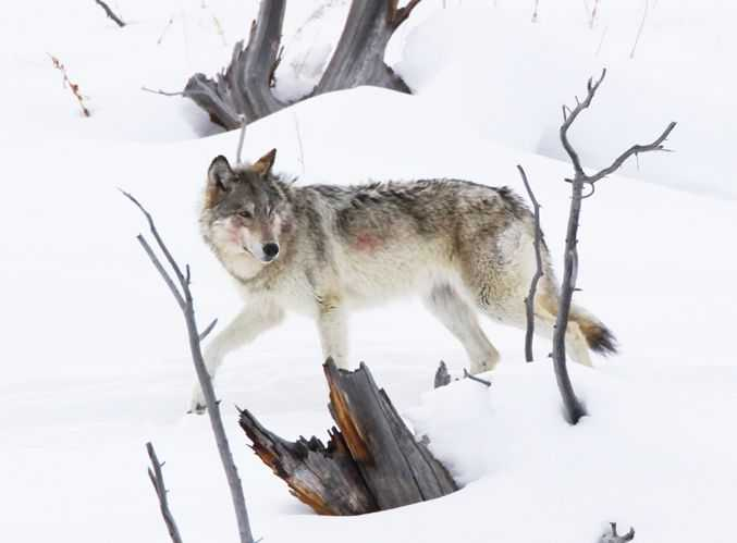 Wolves In Yellowstone Worksheet with Master Guitarist John Sheldon Creates Memorial song for Yellowstone