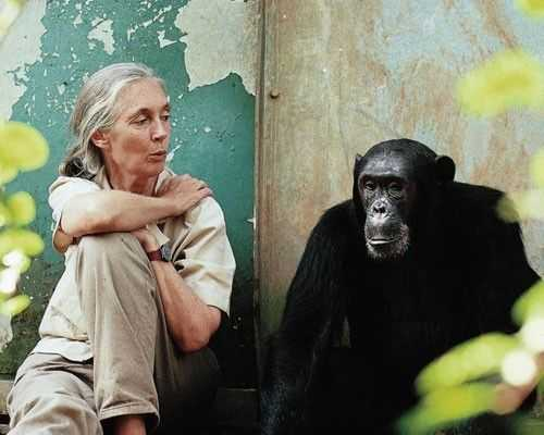 Among the Wild Chimpanzees Worksheet Answers and 87 Best Jane Goodall I Admire Her Images On Pinterest