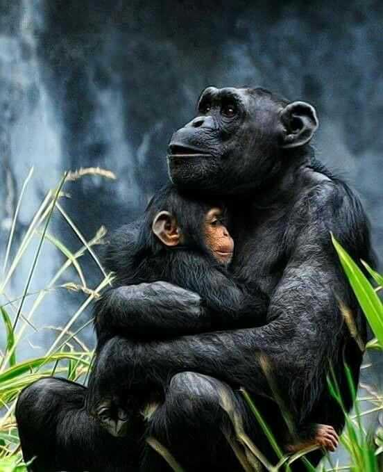 Among the Wild Chimpanzees Worksheet Answers with 13 Best Chimpanzees Images On Pinterest
