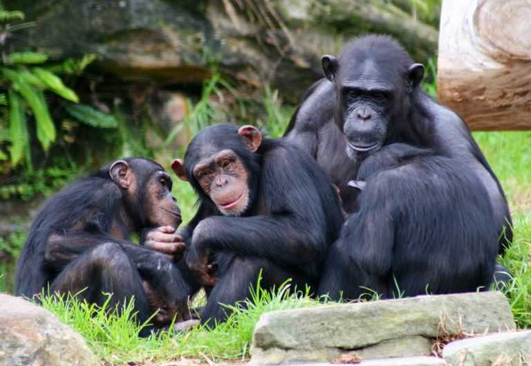 Among the Wild Chimpanzees Worksheet Answers with A Zoo Tycoon Animal Patibility Table
