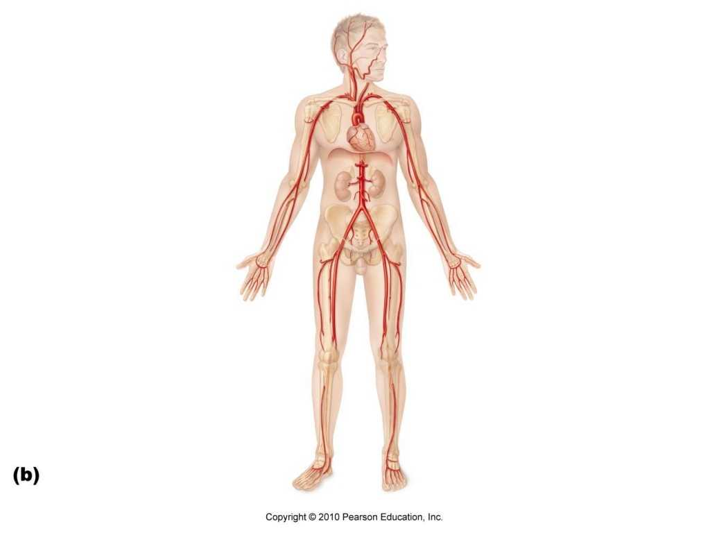 Anatomy and Physiology Worksheets Along with Blood Vessels In Body Diagram Blood Vessels In Body Diagram