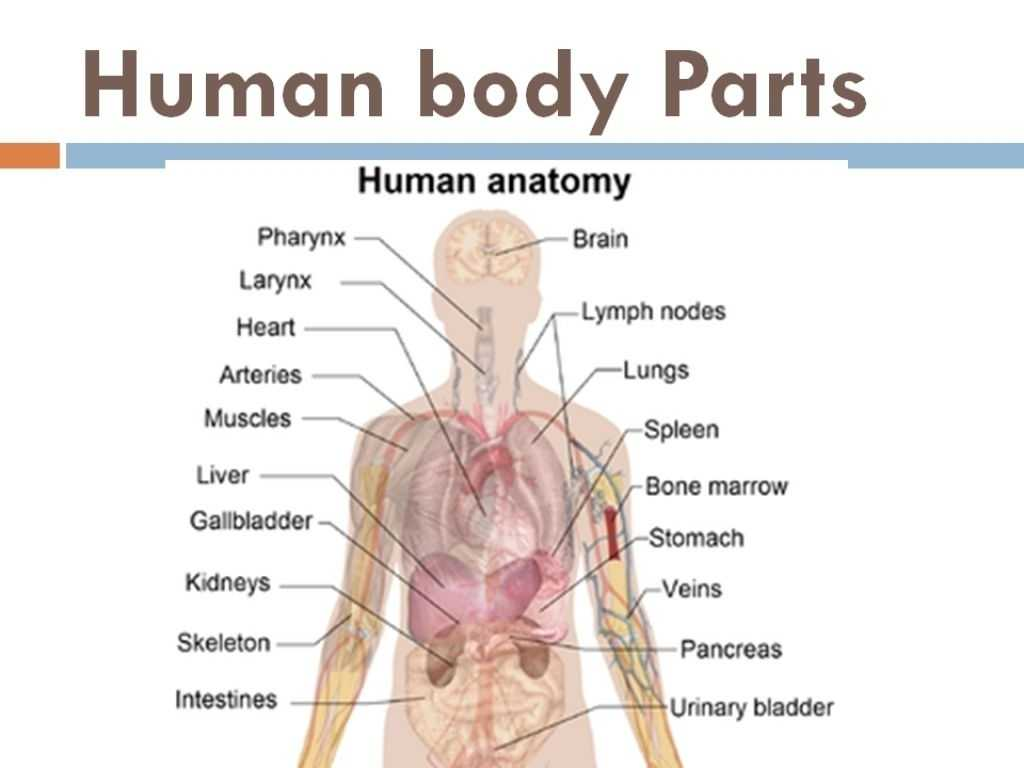 Anatomy and Physiology Worksheets Along with Plete Human Anatomy Image Collections Human Anatomy org