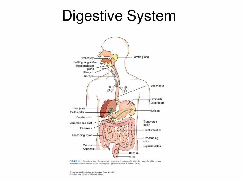 Anatomy and Physiology Worksheets and Lovely the Human Stomach Digestive System Human Body for Edu
