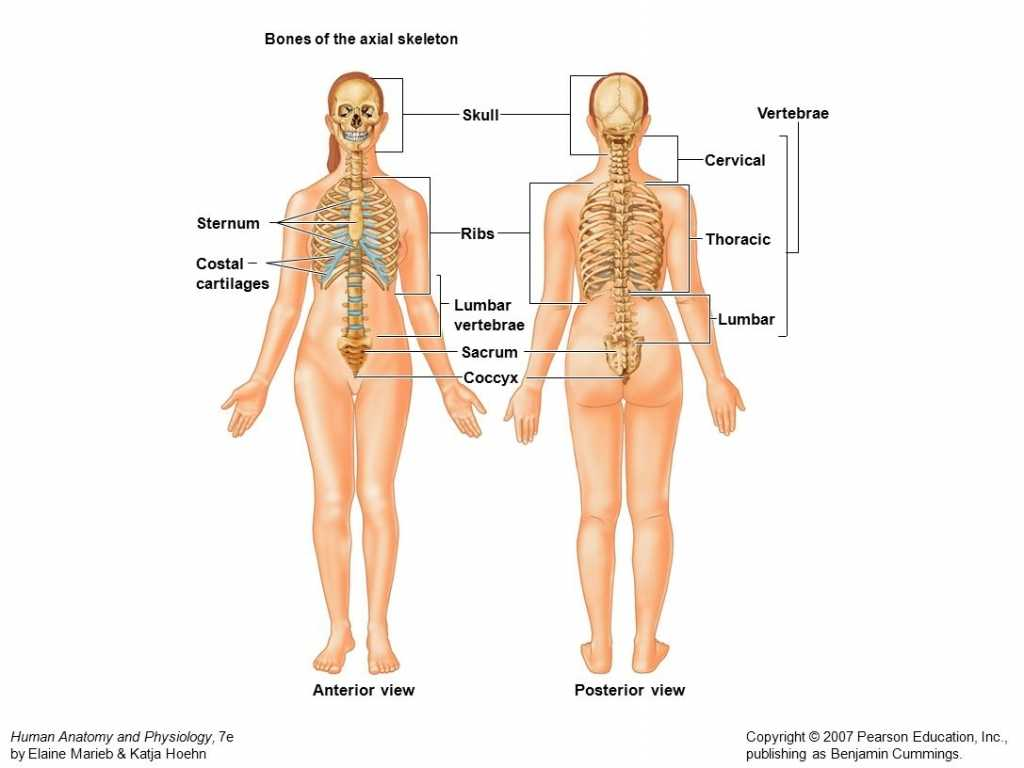 Anatomy and Physiology Worksheets or Anatomy and Physiology Games Human Anatomy Muscles and Bones