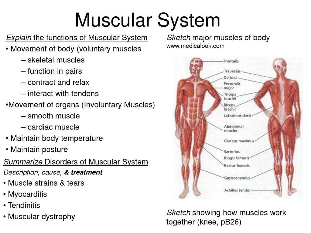Anatomy and Physiology Worksheets or Functions the Human Muscular System Anatomy and Physiol