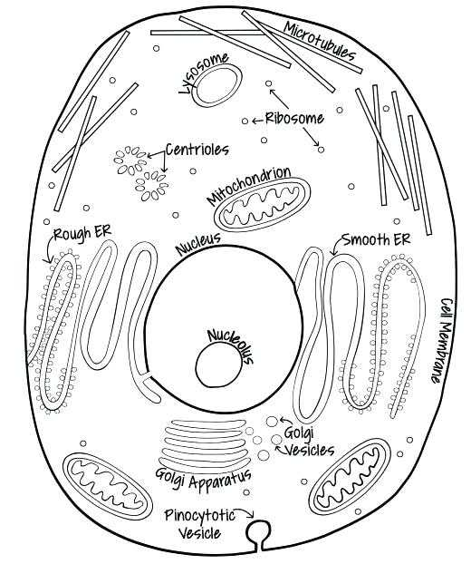 Animal Cell Coloring Worksheet Also Plant Cell Drawing at Getdrawings