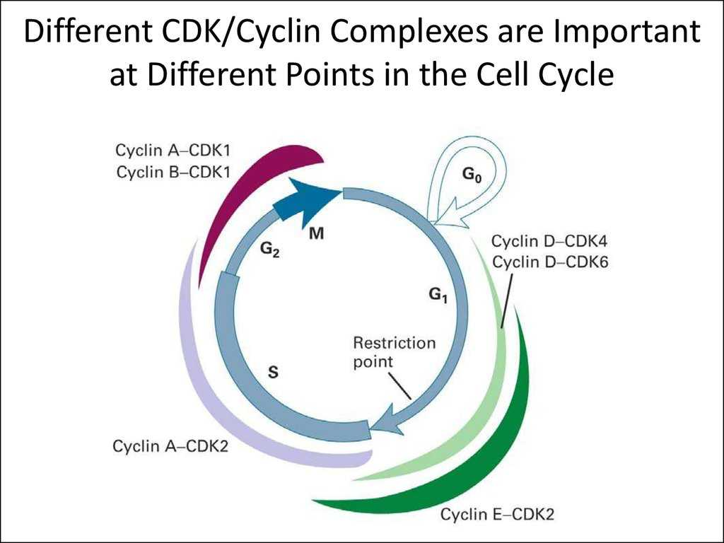 Cells Alive Cell Cycle Worksheet Answer Key Along with Evolution and the Foundations Of Biology Cells and Genetics