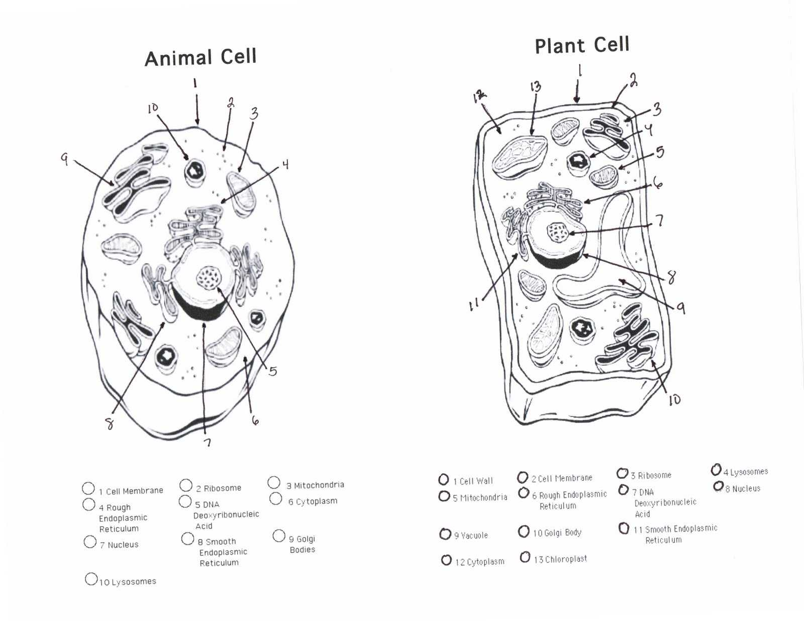 Characteristics Of Bacteria Worksheet Answers or Cells Alive Plant Cell Worksheet Answer Key Unique Plant Cell
