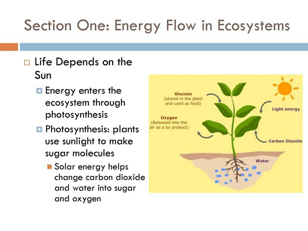 Energy Flow In Ecosystems Worksheet together with Does Energy Enter All Ecosystems as Sunlight Energy Etfs