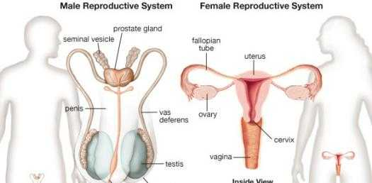 Female Reproductive System Worksheet and Male & Female Reproductive System Quiz Proprofs Quiz