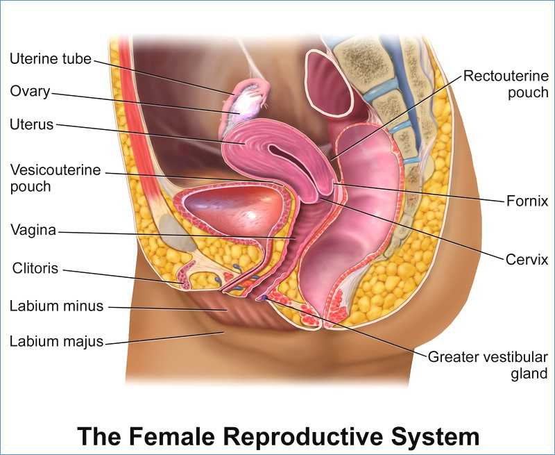 Female Reproductive System Worksheet or Female organs Diagram