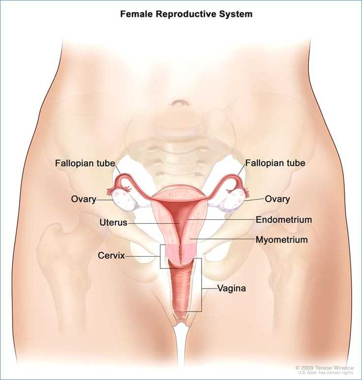 Female Reproductive System Worksheet with Female Anatomy
