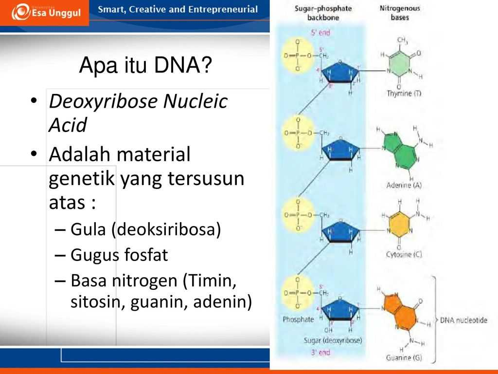 Nucleic Acids and Protein Synthesis Worksheet Answer Key Along with Dr Henny Saraswati Mbiomed Ppt