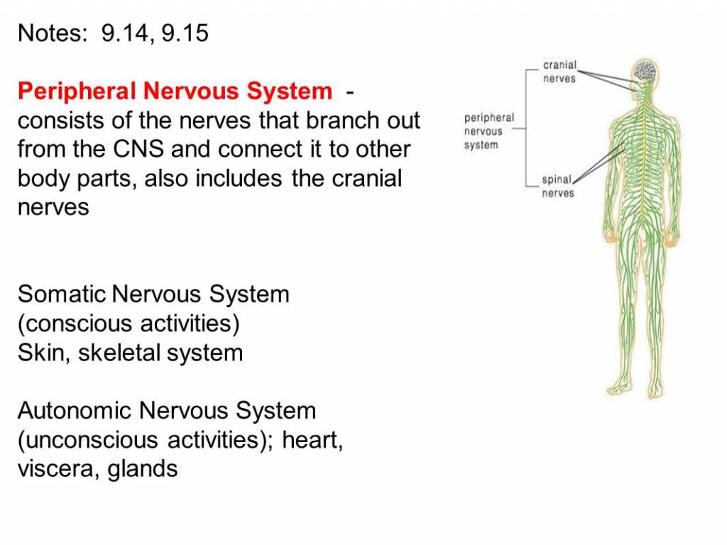 Organization Of the Nervous System Worksheet Answers Also the Peripheral Nervous System Consists Human Body Diagr