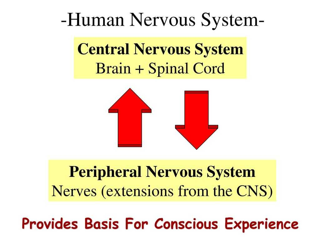 Organization Of the Nervous System Worksheet Answers as Well as Human Nervous System Ppt