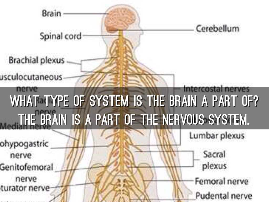 Organization Of the Nervous System Worksheet Answers or Brain by Ajay Twedt