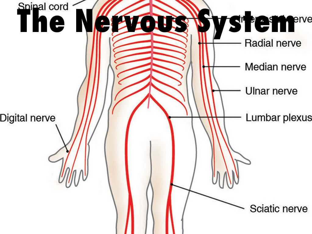 Organization Of the Nervous System Worksheet Answers or the Nervous System by Jkoszalkowski