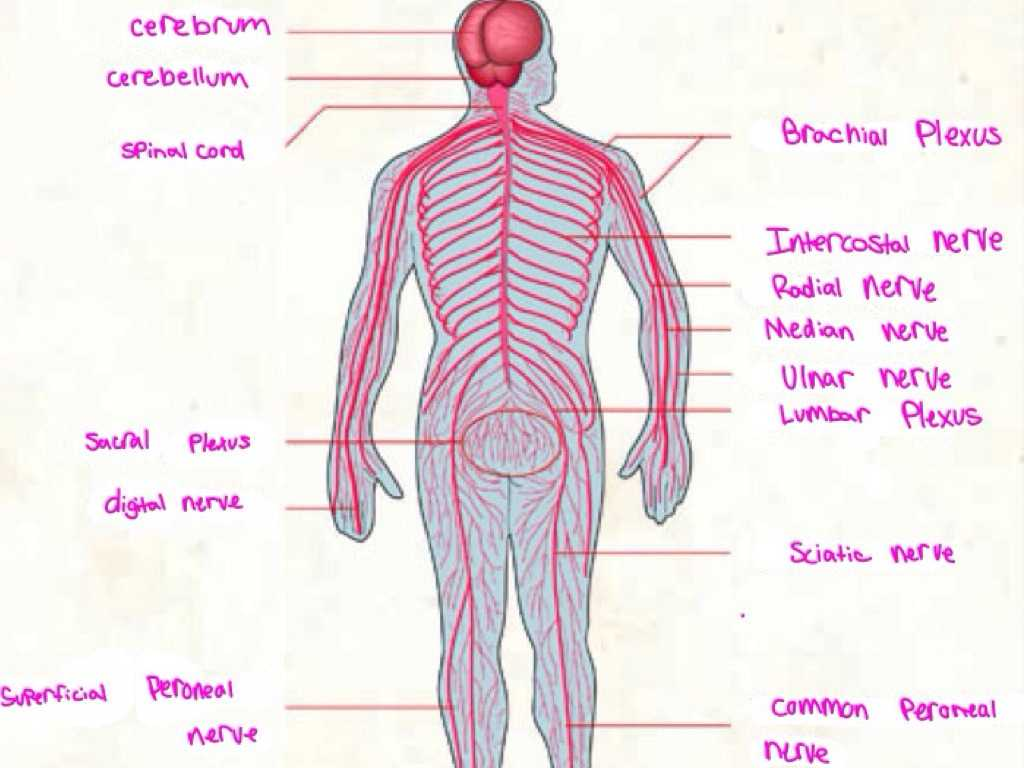 Organization Of the Nervous System Worksheet Answers with Nervous System by Courtney