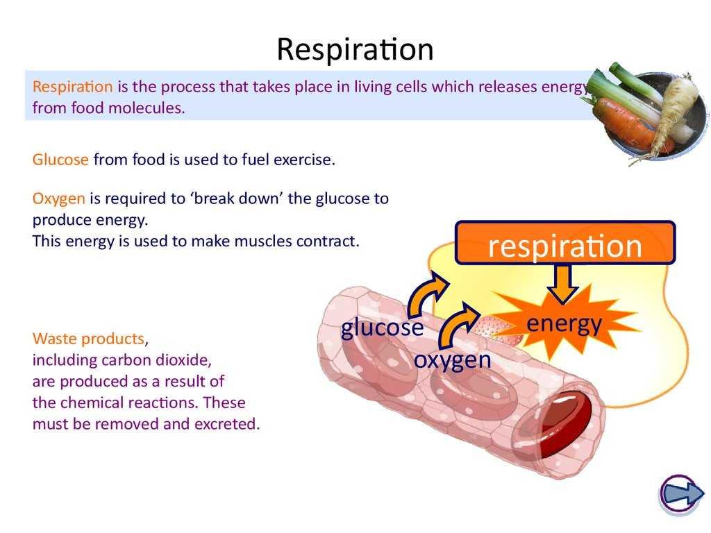 Photosynthesis & Cellular Respiration Worksheet Answers Also Ks4 Biology the Breathing System Online Presentation