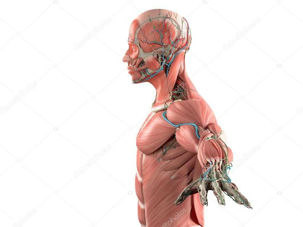 Tissue Worksheet Anatomy Answer Key As Well As Anatomy