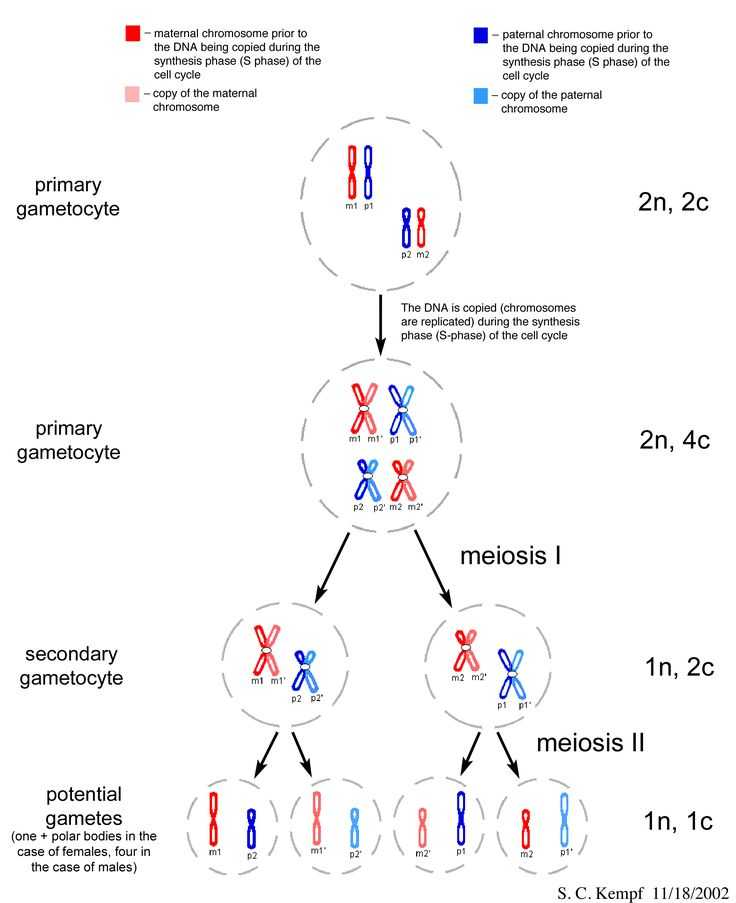 Virtual Lab the Cell Cycle and Cancer Worksheet Answers with 128 Best Mitosis Meiosis Images On Pinterest
