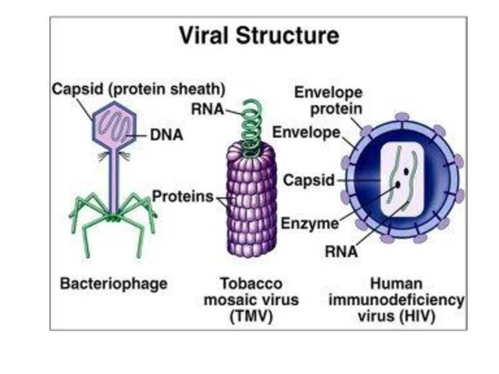 Virus And Bacteria Worksheet Answers And Struktur Virus