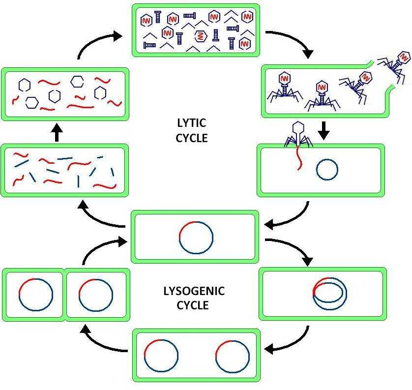 Biology Protein Synthesis Review Worksheet Answer Key as Well as Lytic Cycle