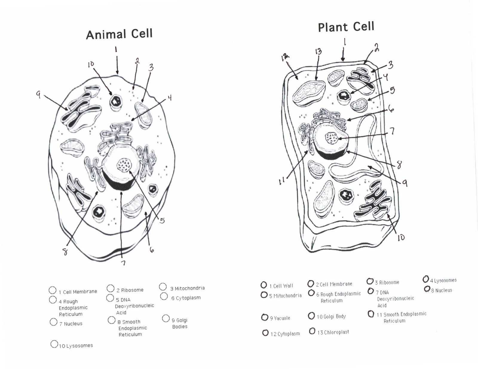 Cellular Structure and Function Worksheet together with Diagram Plant Cell Unique Plant Cell Diagram Worksheet Diagram
