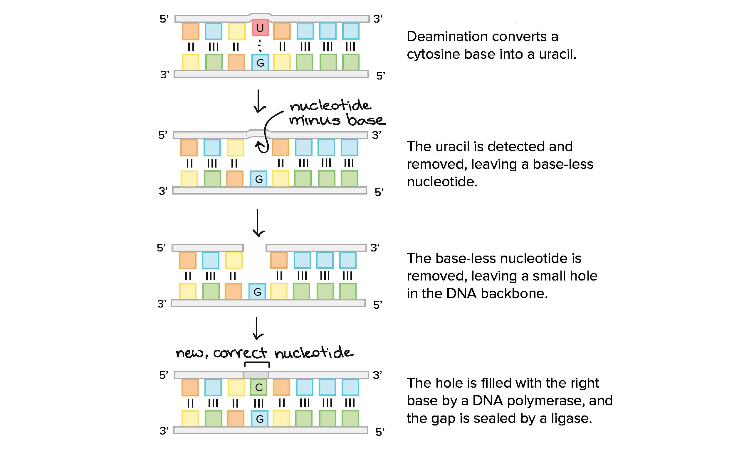Dna Replication Coloring Worksheet Answer Key Along With