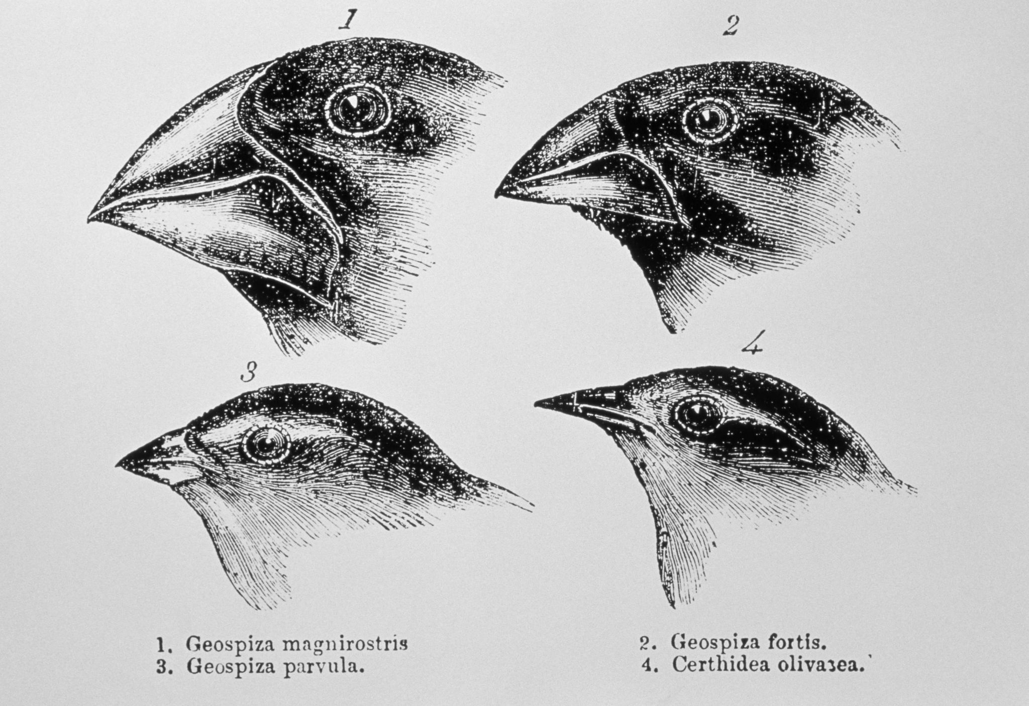 Evolution by Natural Selection Worksheet Also Charles Darwin S Finches and the theory Of Evolution