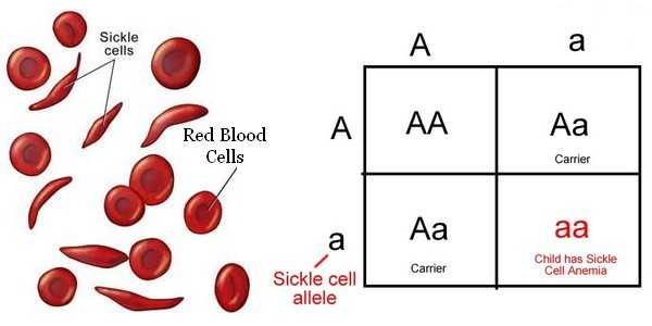 Incomplete and Codominance Worksheet Along with Blood Disorders