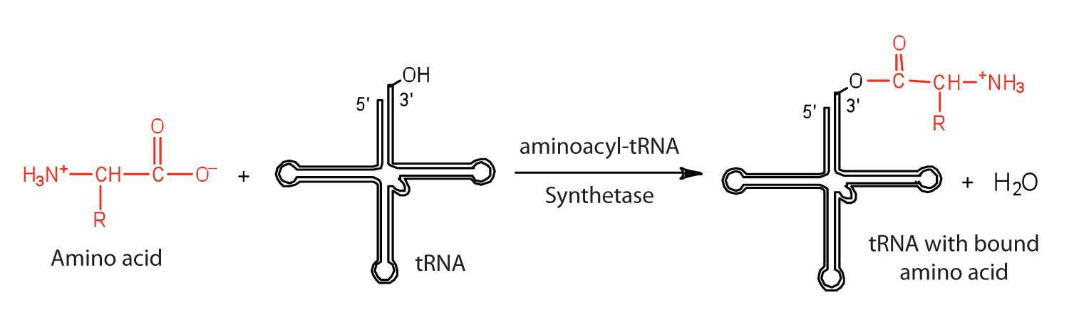 Protein Synthesis and Amino Acid Worksheet Answers Along with Protein Synthesis and the Genetic Code